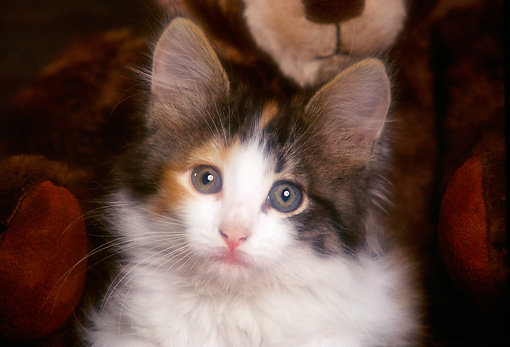CAT 03 RK2239 08 © Kimball Stock Head Shot Of Calico Kitten In Wooden Chest Teddy Bear Background