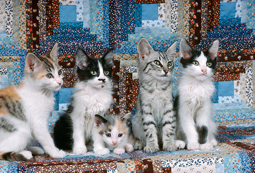 CAT 03 RK2351 02 © Kimball Stock A Group Of Kittens Sitting Together On Quilt Background