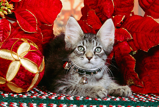 CAT 03 RK2523 06 © Kimball Stock Head Shot Of Gray Kitten Wearing a Collar Next To Christmas Decorations On A Rug