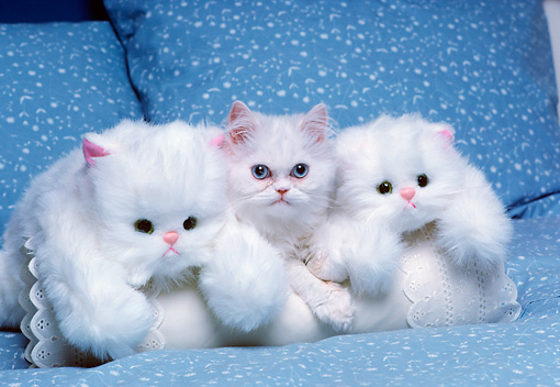 CAT 03 RK2689 01 © Kimball Stock White Persian Kitten Laying On White Pillow With Two White Stuffed Cat Toys