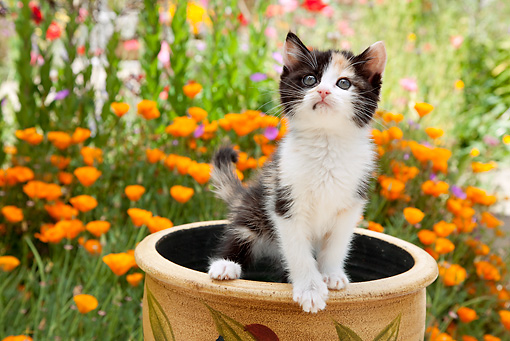 CAT 03 RK2707 01 © Kimball Stock Calico Kitten Standing In Flower Pot In Garden