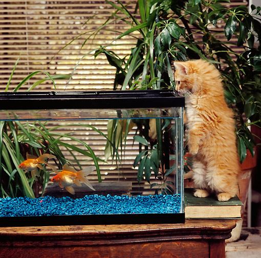 CAT 03 RS0143 01 © Kimball Stock Orange Tabby Kitten Watching Two Goldfish Swimming In Tank