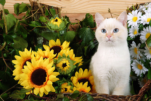 CAT 03 SJ0002 01 © Kimball Stock White Kitten Sitting In Basket By Sunflowers And Daisies