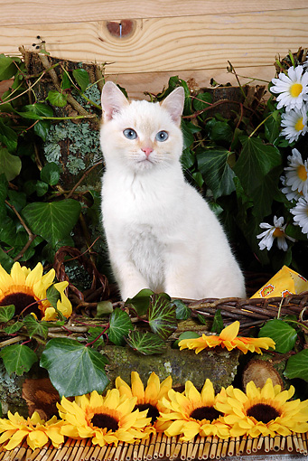 CAT 03 SJ0003 01 © Kimball Stock White Kitten Sitting In Basket By Sunflowers And Daisies