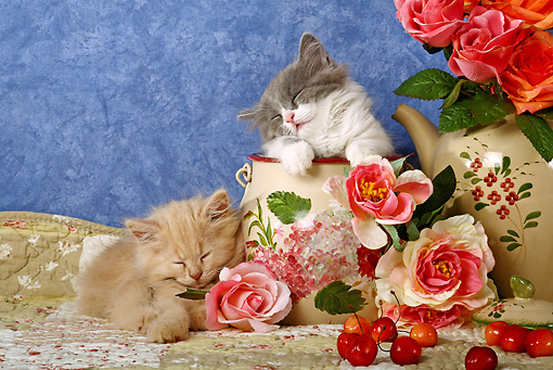 CAT 03 SJ0007 01 © Kimball Stock Longhair Kittens Sleeping In China By Roses