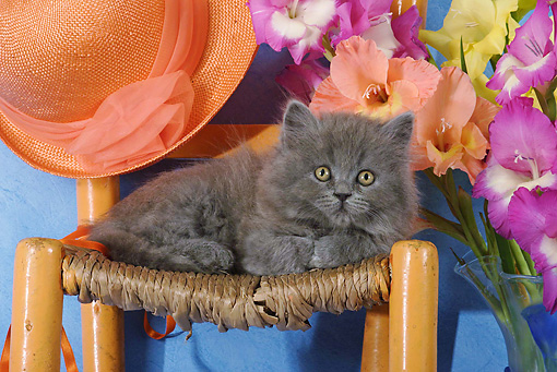 CAT 03 SJ0019 01 © Kimball Stock Persian Kitten Laying On Chair By Hat And Flowers