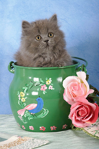 CAT 03 SJ0021 01 © Kimball Stock Persian Kitten Sitting In Green Painted Pot By Roses In Studio