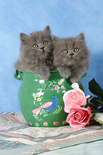 CAT 03 SJ0022 01 © Kimball Stock Persian Kittens Sitting In Green Painted Pot By Roses In Studio