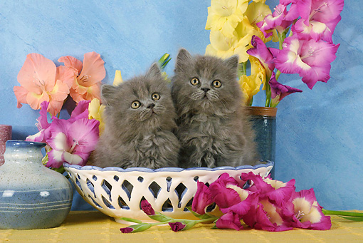 CAT 03 SJ0023 01 © Kimball Stock Persian Kittens Sitting In Bowl By Flowers In Studio