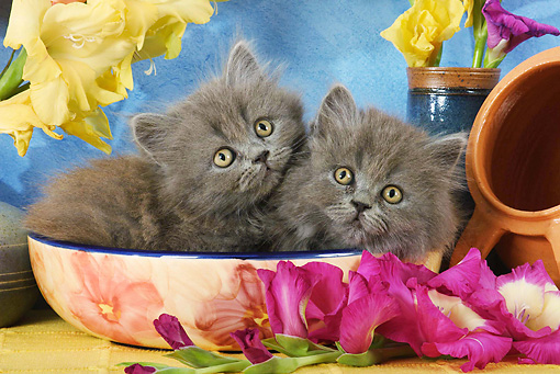 CAT 03 SJ0024 01 © Kimball Stock Persian Kittens Laying In Ceramic Bowl By Flowers In Studio