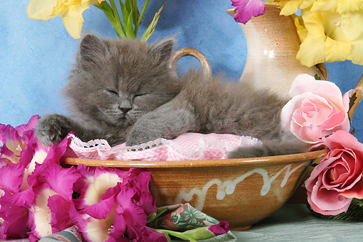 CAT 03 SJ0026 01 © Kimball Stock Persian Kittens Sleeping In Ceramic Bowl By Flowers In Studio