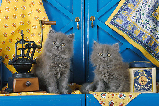 CAT 03 SJ0027 01 © Kimball Stock Persian Kittens Sitting By Blue Cabinets In Kitchen