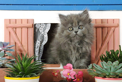 CAT 03 SJ0030 01 © Kimball Stock Persian Kitten Sitting In Dollhouse Window By Potted Plants