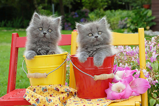 CAT 03 SJ0032 01 © Kimball Stock Persian Kittens Sitting In Buckets On Chairs In Lawn