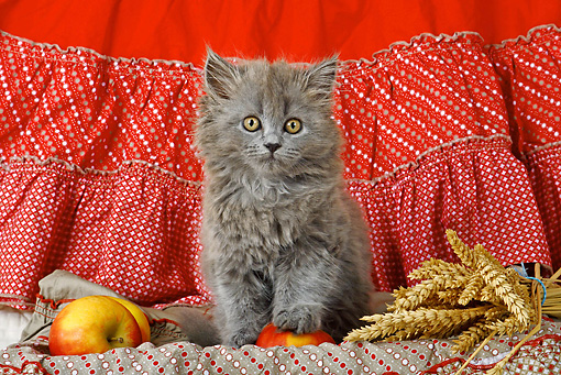 CAT 03 SJ0033 01 © Kimball Stock Persian Kitten Sitting On Blanket With Apples And Wheat
