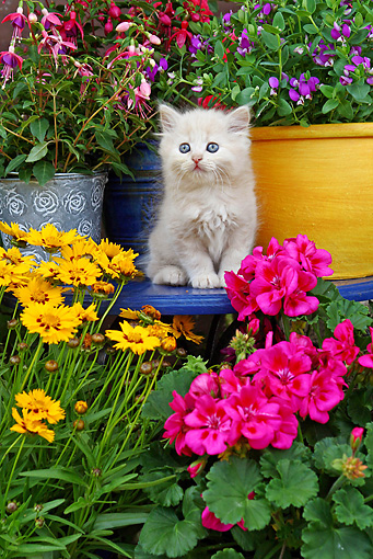 CAT 03 SJ0035 01 © Kimball Stock Persian Kitten Sitting On Blue Table In Garden