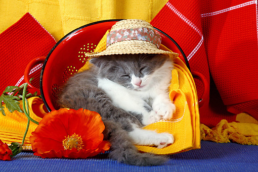 CAT 03 SJ0038 01 © Kimball Stock Kitten Sleeping In Red Strainer With Hat On