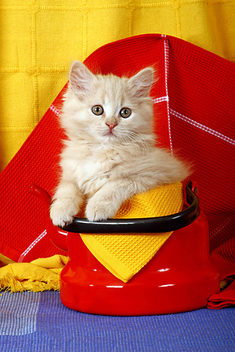 CAT 03 SJ0039 01 © Kimball Stock Longhair Tabby Kitten Sitting In Red Teapot
