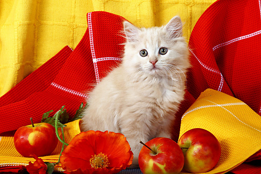 CAT 03 SJ0040 01 © Kimball Stock Longhair Tabby Kitten Sitting By Apples And Orange Flower