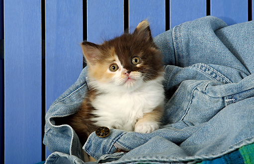 CAT 03 SJ0042 01 © Kimball Stock Longhair Calico Kitten Laying In A Pair Of Blue Jeans