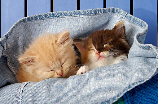 CAT 03 SJ0043 01 © Kimball Stock Orange Tabby And Calico Kitten Sleeping In A Pair Of Blue Jeans