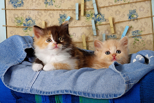 CAT 03 SJ0044 01 © Kimball Stock Orange Tabby And Calico Kitten Laying In A Pair Of Blue Jeans