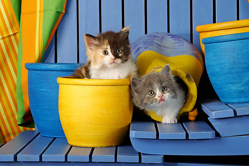 CAT 03 SJ0045 01 © Kimball Stock Gray And Calico Kittens Sitting In Blue And Yellow Flower Pots On Stairs