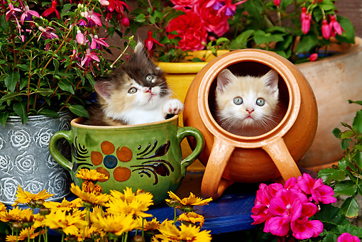 CAT 03 SJ0047 01 © Kimball Stock Calico And Orange Tabby Kittens Sitting In Pots In Garden