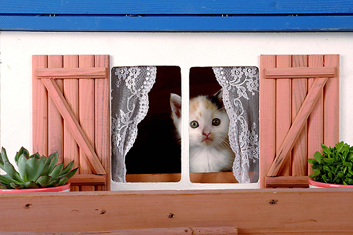 CAT 03 SJ0050 01 © Kimball Stock Calico Kitten Looking Out Of Dollhouse Window