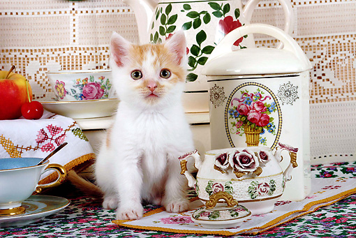 CAT 03 SJ0053 01 © Kimball Stock White And Orange Kitten Sitting By Tea Set
