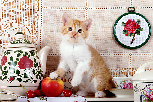 CAT 03 SJ0054 01 © Kimball Stock White And Orange Kitten Sitting By Tea Set