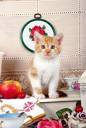 CAT 03 SJ0055 01 © Kimball Stock White And Orange Kitten Sitting By Tea Set