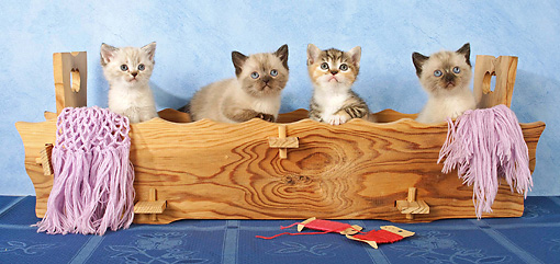 CAT 03 SJ0057 01 © Kimball Stock Four Kittens Sitting In Wooden Box With Pink Scarf