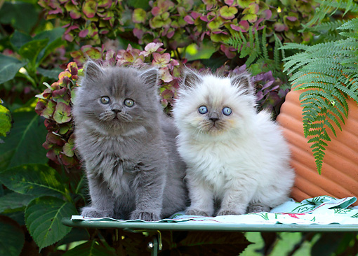 CAT 03 SJ0059 01 © Kimball Stock Two Persian Kittens Sitting On Table In Garden