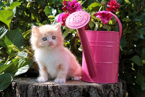 CAT 03 SJ0065 01 © Kimball Stock Kitten Sitting On Stump By Pink Watering Can