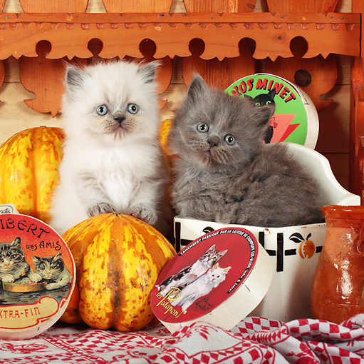 CAT 03 SJ0067 01 © Kimball Stock White And Gray Kittens Sitting By Gourds And Cat Food