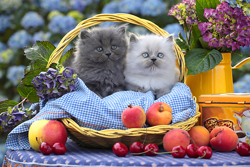 CAT 03 SJ0076 01 © Kimball Stock Two Persian Kittens Sitting In Picnic Basket With Peaches