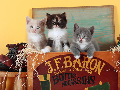 CAT 03 SJ0084 01 © Kimball Stock Three Kittens Sitting In Wooden Shoe Box