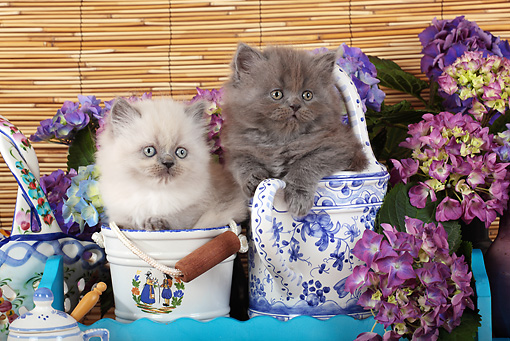 CAT 03 SJ0086 01 © Kimball Stock Two Kittens Sitting In China By Flowers