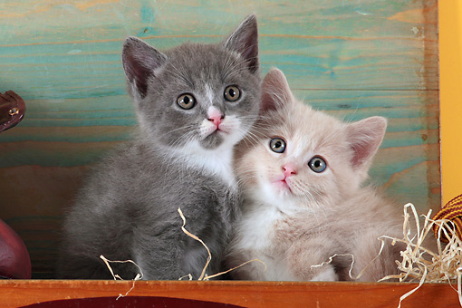 CAT 03 SJ0087 01 © Kimball Stock Close-Up Of Two Kittens Sitting In Wooden Shoe Box