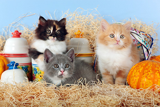 CAT 03 SJ0098 01 © Kimball Stock Three Kittens Sitting On Hay By Gourds And China