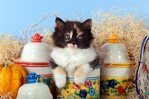 CAT 03 SJ0099 01 © Kimball Stock Calico Kitten Sitting On Hay By Gourds And China