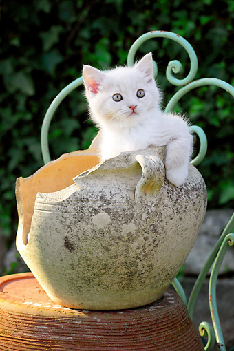 CAT 03 SJ0106 01 © Kimball Stock White Kitten Sitting In Pottery Vase
