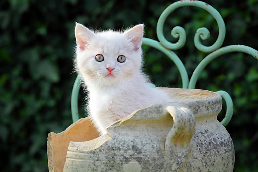 CAT 03 SJ0107 01 © Kimball Stock White Kitten Sitting In Pottery Vase