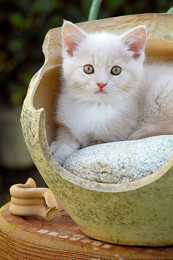 CAT 03 SJ0109 01 © Kimball Stock White Kitten Laying In Pottery Vase