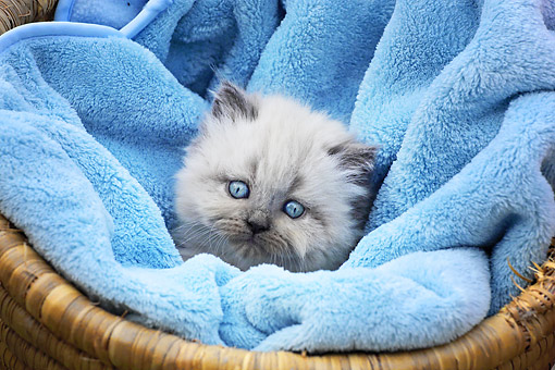 CAT 03 SJ0111 01 © Kimball Stock Persian Kitten Laying In Basket With Blue Blanket