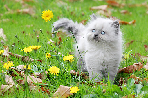 CAT 03 SJ0114 01 © Kimball Stock Persian Kitten Standing In Grass, Yellow Flowers And Autumn Leaves