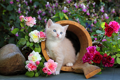 CAT 03 SJ0120 01 © Kimball Stock Cream And White Kitten Sitting On Flower Pot