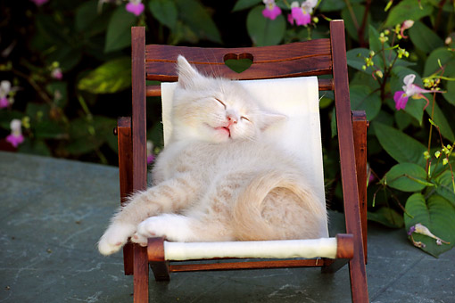 CAT 03 SJ0121 01 © Kimball Stock Cream And White Kitten Laying In Chair