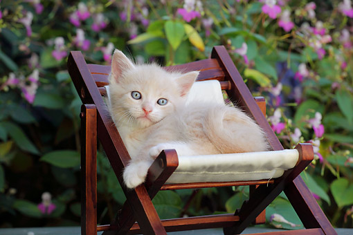 CAT 03 SJ0122 01 © Kimball Stock Cream And White Kitten Laying In Chair On Patio